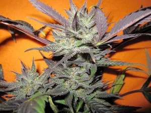 Holy Smoke SeedsStrawberry Diesel Feminised Seeds - 6