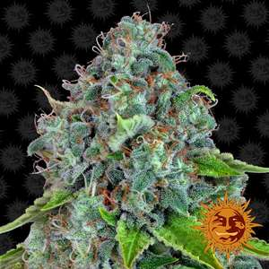 Barney's Farm SeedsStrawberry Lemonade Feminised Seeds