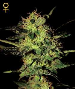 Greenhouse Seed Co.Super Critical Feminised Seeds