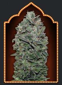 00 SeedsSweet Soma Feminised Seeds