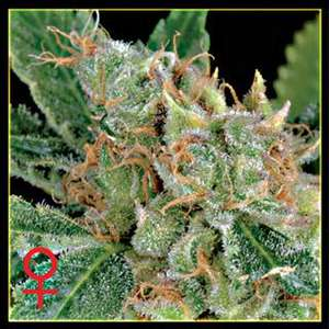 Greenhouse Seed Co.The Church Feminised Seeds