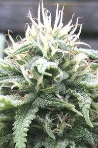 Digital GeneticsThe White Star Regular Seeds - 12