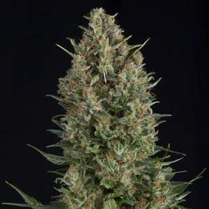 Pyramid SeedsWembley Feminised Seeds