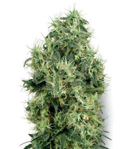 White Label Seed CompanyWhite Gold Feminised Seeds