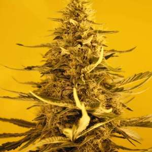 Nirvana SeedsWhite Widow Auto Feminised Seeds - 5