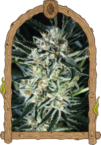Jelly Bananas Feminised Cannabis Seeds by Exotic Seeds