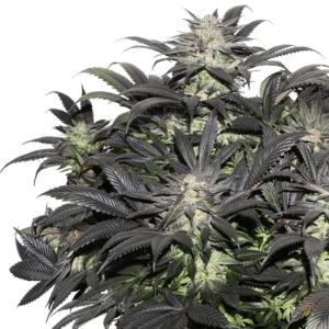 Super Sativa Seed Club Lava Freeze Feminised cannabis seeds