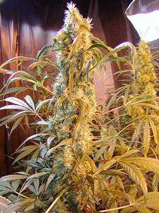 Mr Nice Seedbank Mango Widow Regular cannabis seeds