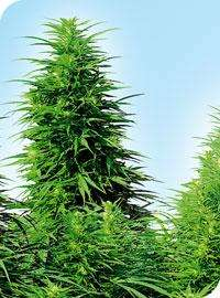 Sensi SeedsRuderalis Skunk Regular Seeds