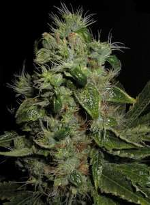 Seedsman Mazari Feminised cannabis seeds