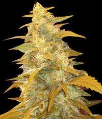 World of Seeds Afghan Kush Feminised cannabis seeds