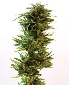 Barney's Farm SeedsAmnesia Lemon Feminised Seeds