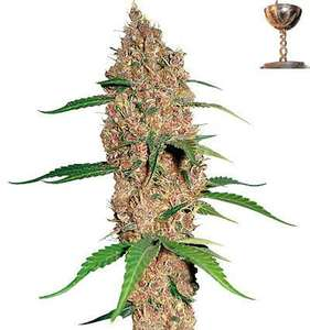 Barney's Farm Seeds Laughing Buddha Feminised cannabis seeds
