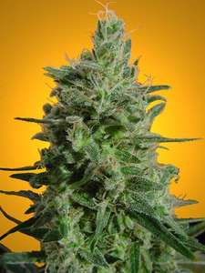 Paradise SeedsDelahaze Feminised Seeds