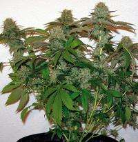 Barney's Farm Seeds 8 Ball Kush Feminised cannabis seeds