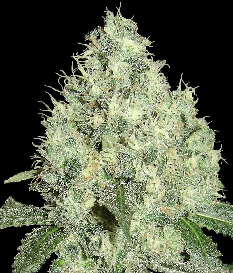 DNA Genetics 91 Krypt Regular- Limited Collection  cannabis seeds