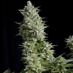 Pyramid Seeds Alpujarrena Feminised cannabis seeds