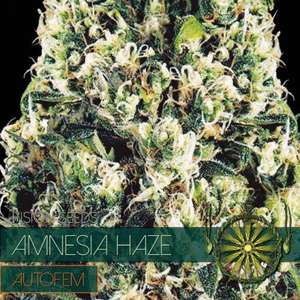 Vision Seeds Amnesia Haze Auto Feminised  cannabis seeds