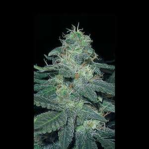 BlimBurn Seeds BC Diesel Feminised cannabis seeds
