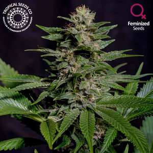 Tropical Seeds Biscuit Buster Feminised (Limited Edition) cannabis seeds