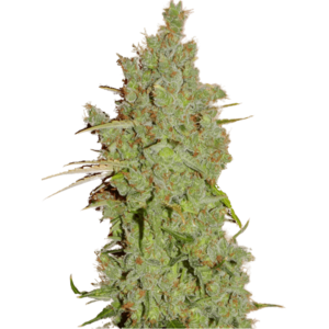 Super Strains Amnesia Feminised cannabis seeds