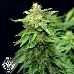 G13 Labs Blue Cindy Feminised cannabis seeds