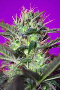 Sweet Seeds Botafumeiros Feminised cannabis seeds
