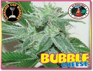 Big Buddha SeedsBubble Cheese Feminised Seeds
