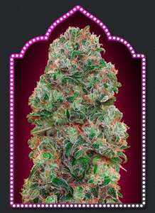 00 Seeds Bubble Gum Feminised cannabis seeds