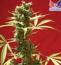 Positronic Seeds Caramel Ice Feminised cannabis seeds