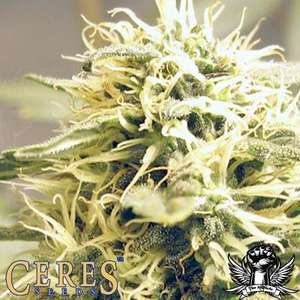 Ceres SeedsCeres Kush Feminised Seeds