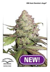 Dutch Passion Charlotte's Angel CBD Auto Feminised cannabis seeds