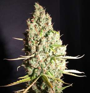 T.H. SeedsChicle aka BubbleDawg Feminised Seeds