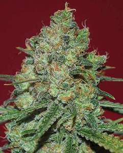 Expert Seeds Clinical White CBD Feminised cannabis seeds