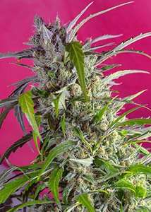Sweet Seeds Crystal Candy Auto Feminised cannabis seeds