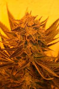 Emerald TriangleCritical Sour Diesel CBD Feminised Seeds