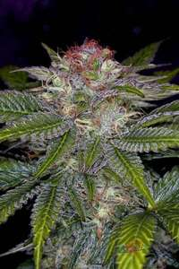 Subcool Seeds/TGA Genetics Deep Purple Regular cannabis seeds