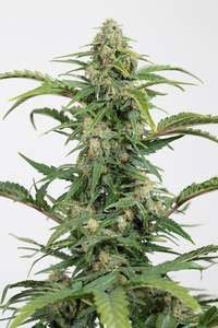 Dinafem Seeds Dinamed CBD Auto Feminised cannabis seeds