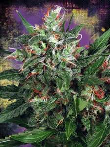 Ministry of Cannabis Early XXX Feminised cannabis seeds