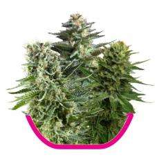 Royal Queen SeedsFeminized Mix Feminised Seeds