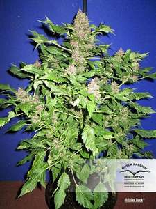 Dutch Passion Frisian Duck Feminised cannabis seeds