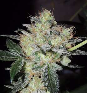 Karma Genetics Fruit Bowl Feminised cannabis seeds