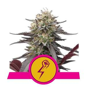 Royal Queen SeedsGreen Punch Feminised Seeds