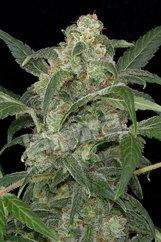 Dinafem SeedsHaze 2.0 Auto Feminised Seeds