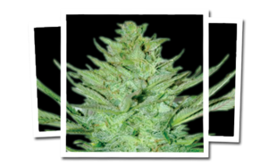 Emerald TriangleHeadlights Kush Auto Feminised Seeds