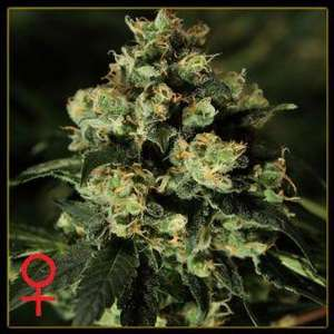 Greenhouse Seed Co. Jack Herer Feminised cannabis seeds