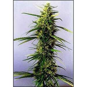 KC Brains KC 36 Feminised cannabis seeds