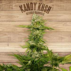 The Plant Kandy Kush Feminised cannabis seeds