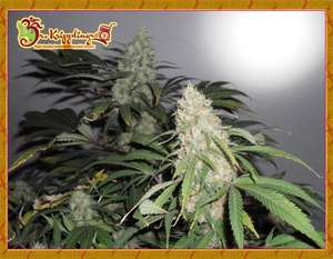 Dr Krippling Seeds Kripple Roulette Feminised cannabis seeds
