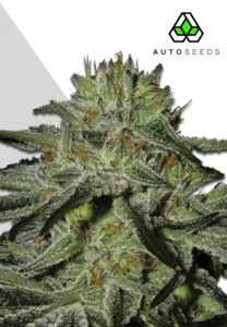 Auto Seeds Kush Doctor Auto Feminised cannabis seeds
